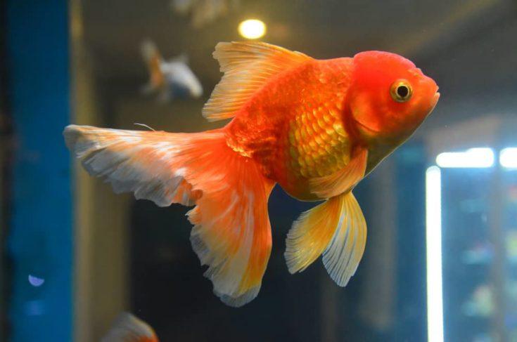 Gold fish, goldfish in aquarium