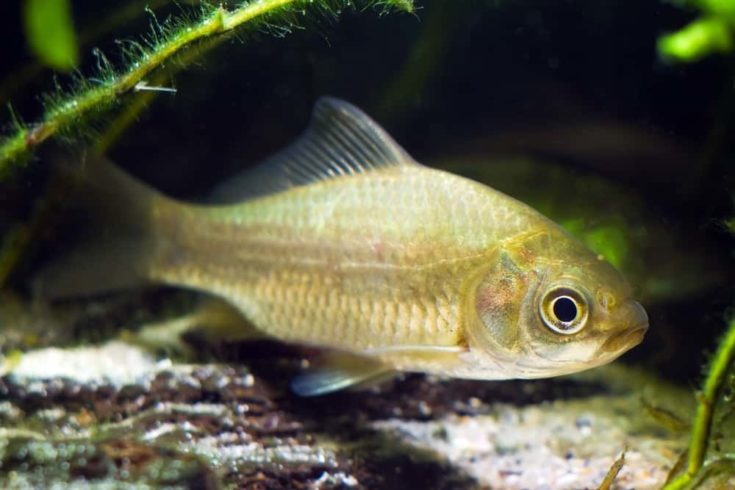 Carassius gibelio, prussian carp or gibel carp, wide-spread and very common wild freshwater fish facing the camera in moderate coldwater biotope aquarium
