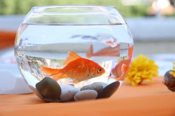 Goldfish in a round aquarium.