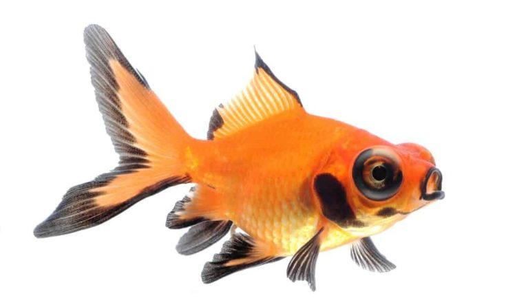 Black orange goldfish in a white background.