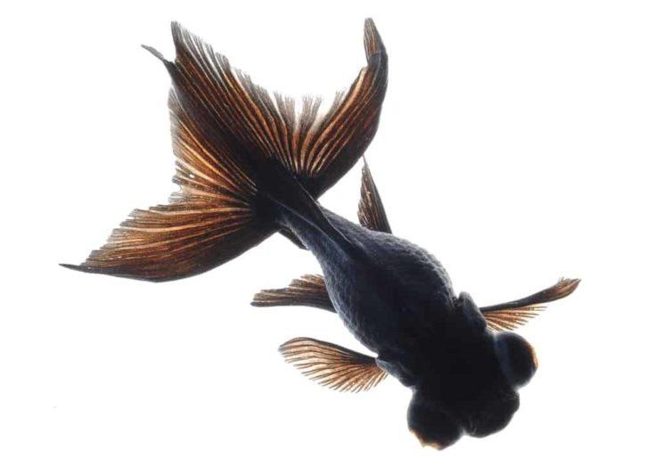 Black oranda goldfish in a white background.
