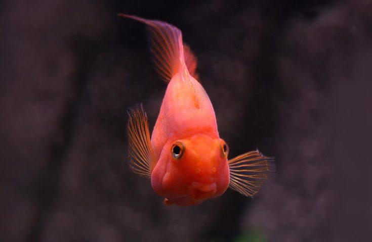 Red Parrot Cichlid, cichlasoma erythraeum