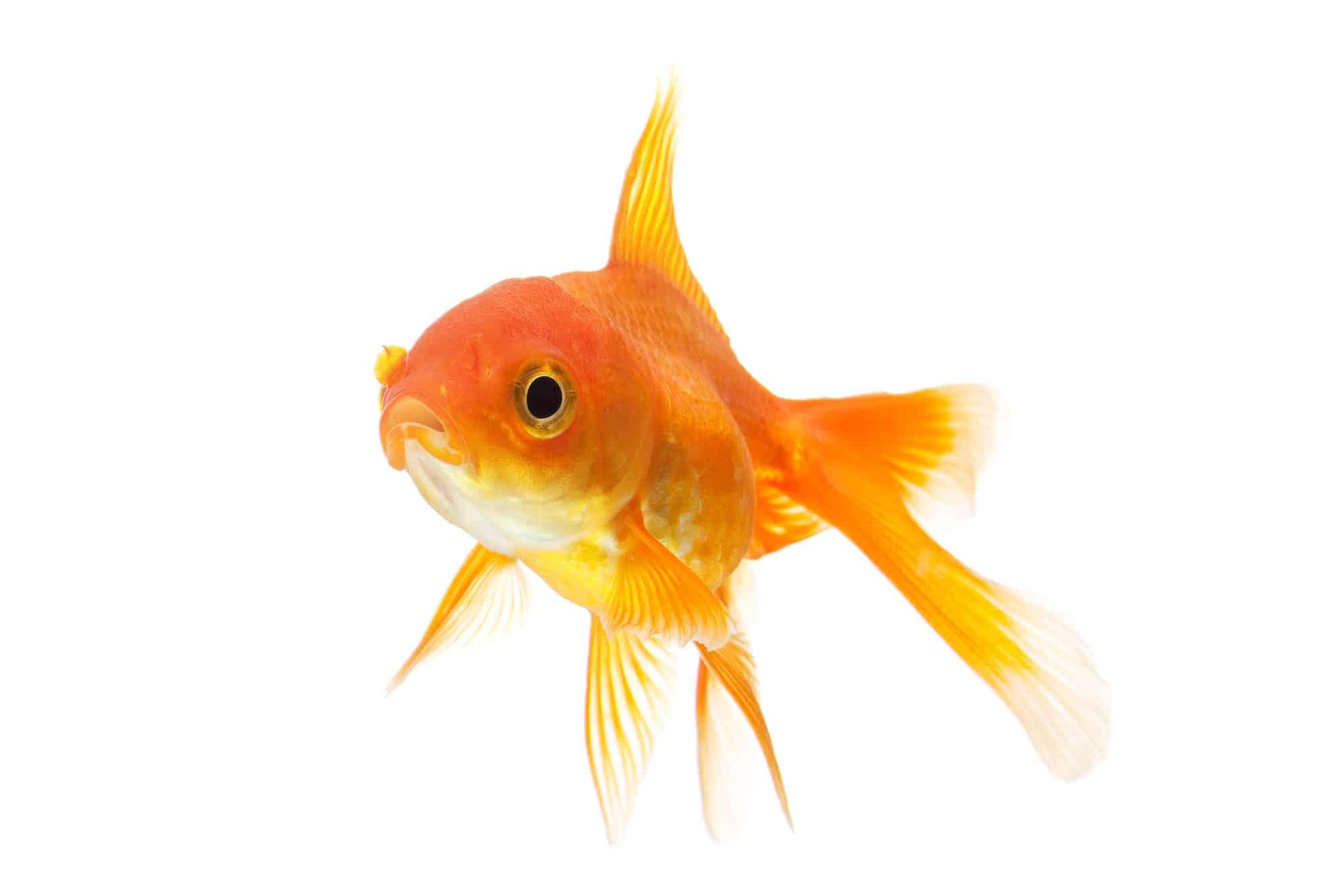 Goldfish closeup isolated on white background