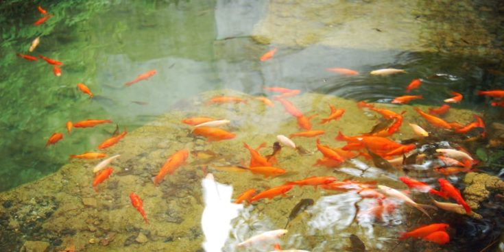 Small orange fishes in the small man made pond - vintage effect. Red and golden aquarium fishes swimming in the pond - retro filter. Artificial pond with goldfishes for relaxation - toned photo.