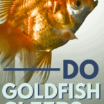 Do Goldfish Sleep? - Pin