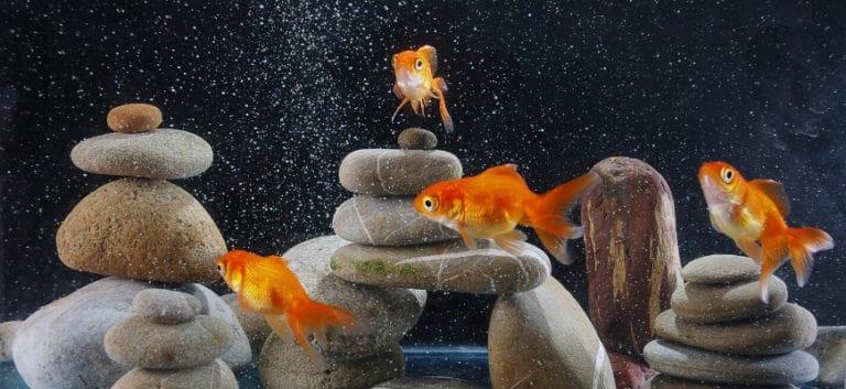 Goldfish on rocks aquascape.