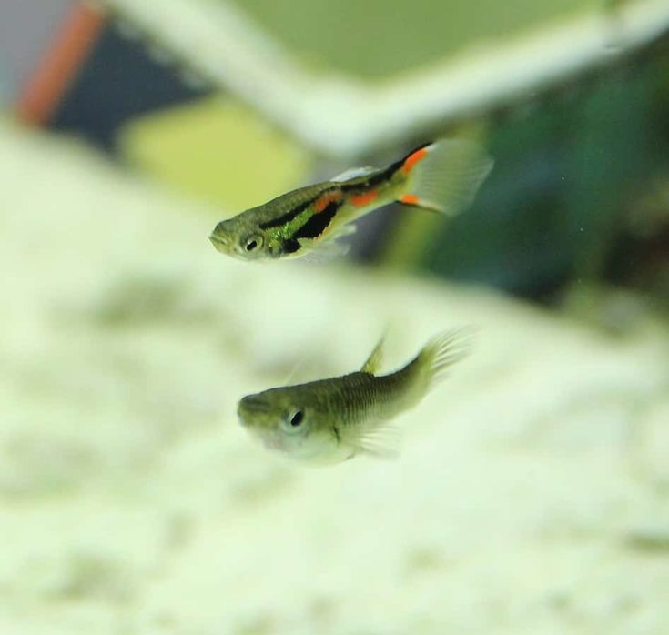 Brightly colored Endler's livebearer fishes.