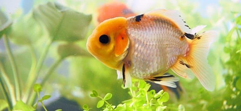 Beautiful goldfish in an aquarium.