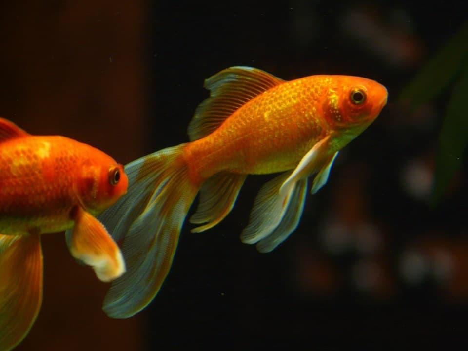 2 goldfish in the tank