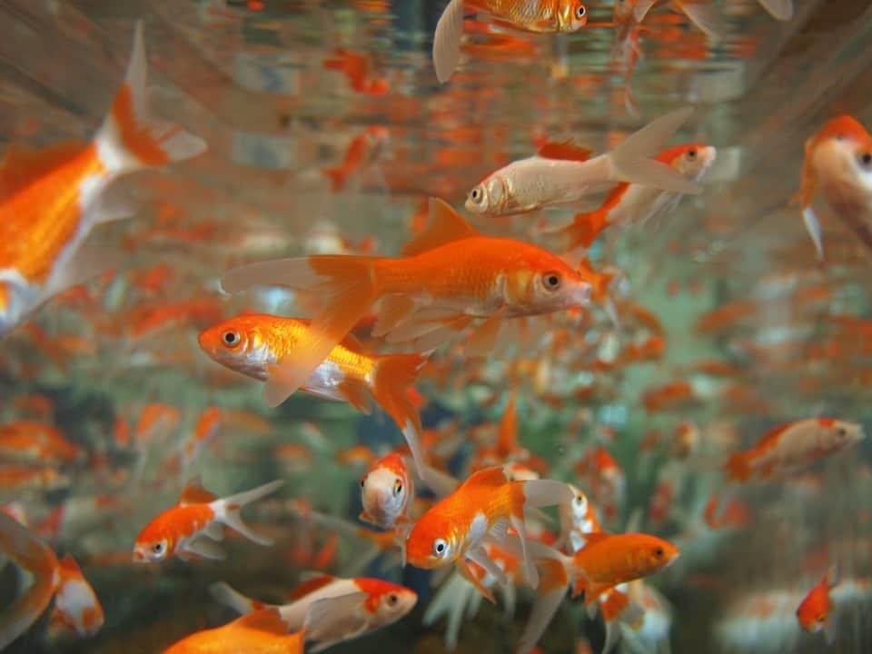 many goldfish in the tank
