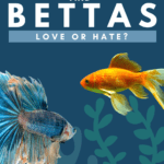 Goldfish And Bettas- Love Or Hate? - Pin