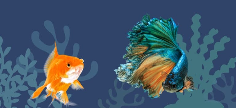 Fancy Goldfish and Betta Fish in printed background