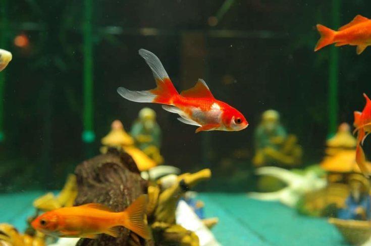 Goldfish in the tank.