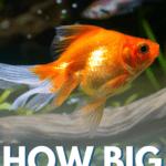 How Big Do Goldfish Get? - Pin