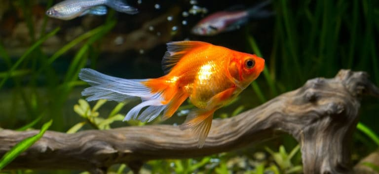 Beautiful golden fish swimming freely inside tank with a wood background.