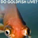 How Long do Goldfish Live? - Pin