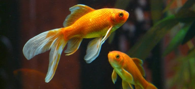 Two Fantail goldfish with a blurry leaf background.