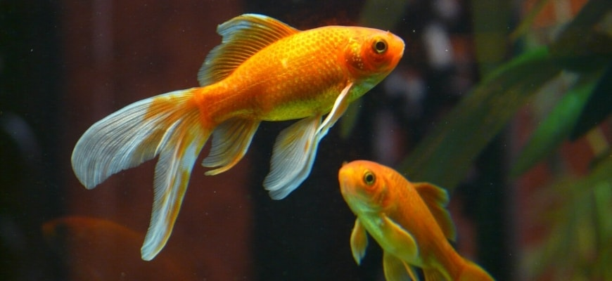 How Long do Goldfish Live? - Two Fantail goldfish with a blurry leaf background.