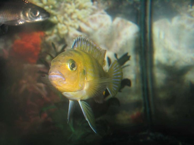 Focus shot of yellow Kenyi Cichlid fish.