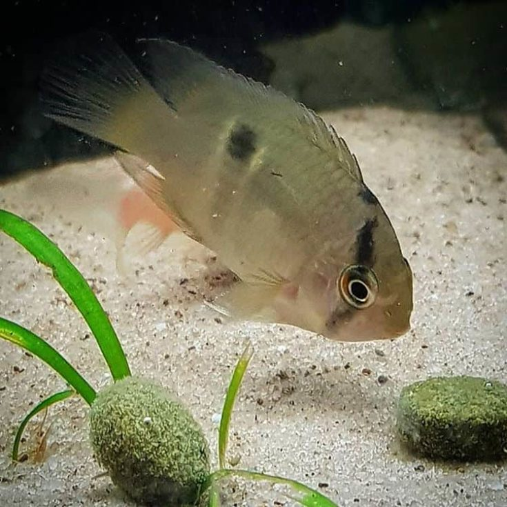 Keyhole Cichlid sniffing on moss plant.