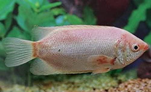 Focus shot of Kissing Gourami pink tropical fish.