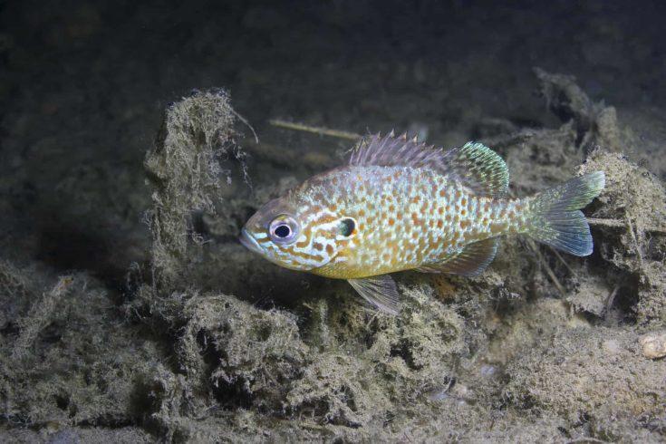 Underwater photography of a freshwater fish Pumpkinseed (Lepomis gibbosus). Invasive species swimming in a pond. Sunfish in lake habitat. Wildlife animal Sonnenbarsch.
