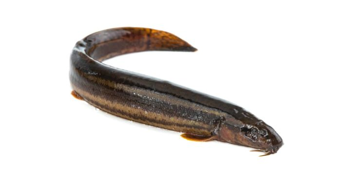 Loach fish isolated on a white background.