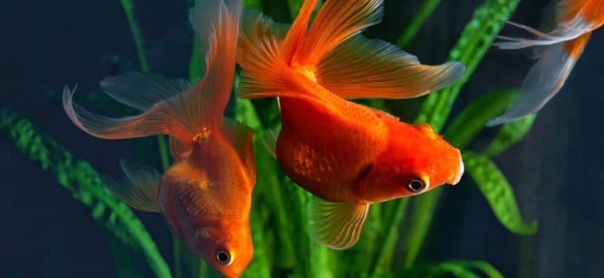 2 goldfish in the tank