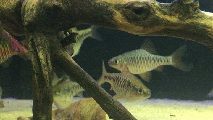 Checkered Barbs on aquarium