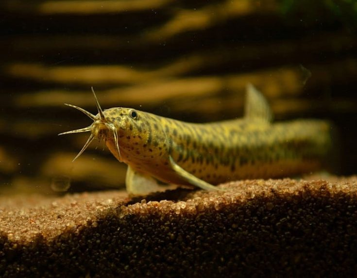 Weather Loach gliding on aquarium gravel inside the tank.