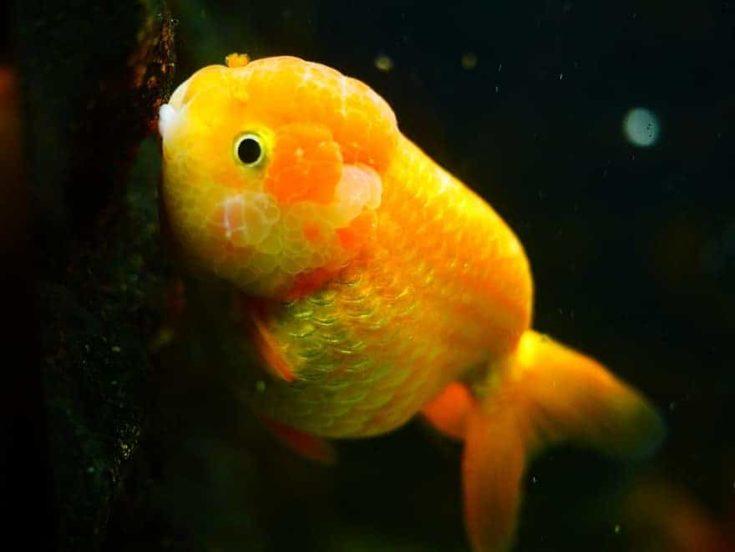 Yellow goldfish in black background.