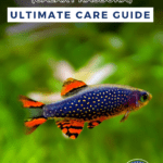 Celestial Pearl Danio (Galaxy Rasbora) - Ultimate Care Guide-pin