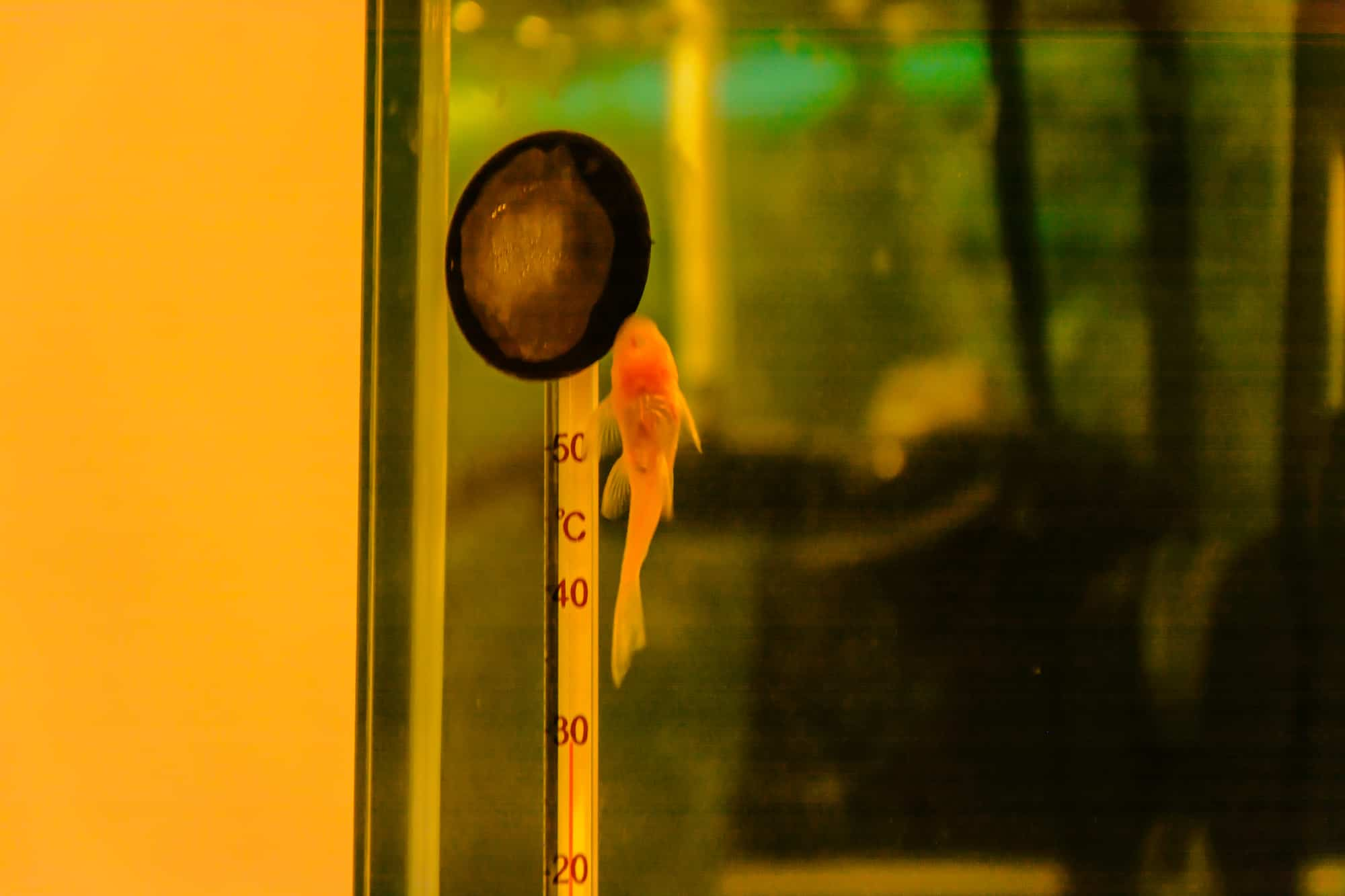 A small catfish ancistrus stuck to the glass of the aquarium near the thermometer