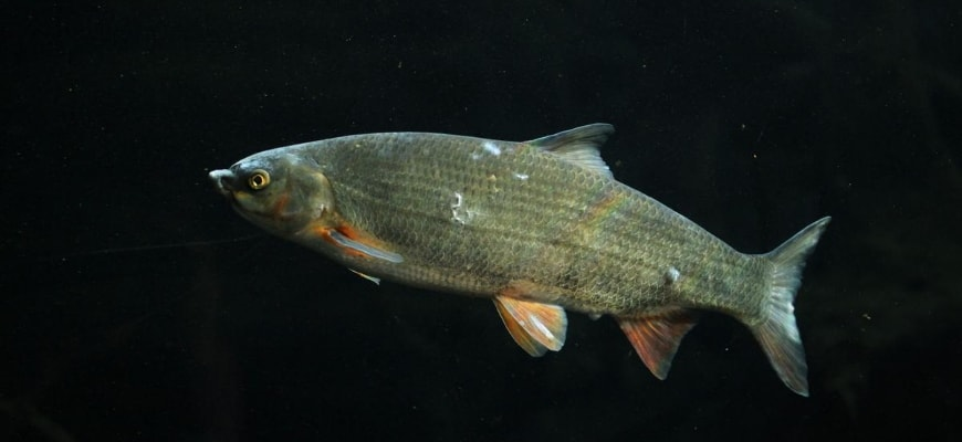 Showing sign of white spot on fish body.