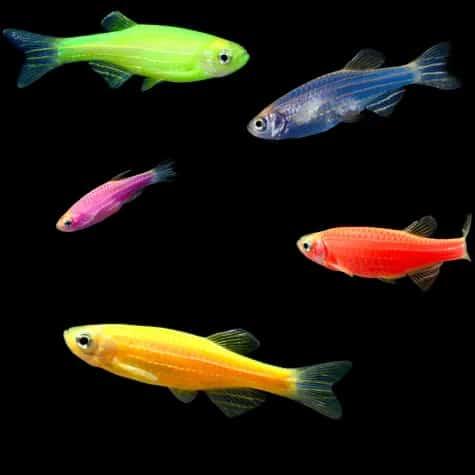 5-Pack Assorted Danio GloFish (Danio rerio)