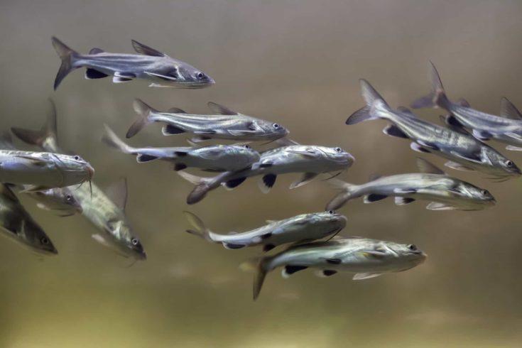 Tete sea catfish (Ariopsis seemanni), also known as the Colombian shark catfish.