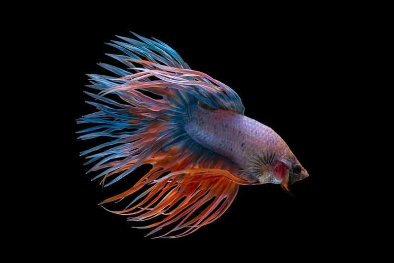 fancy crowntail betta fish