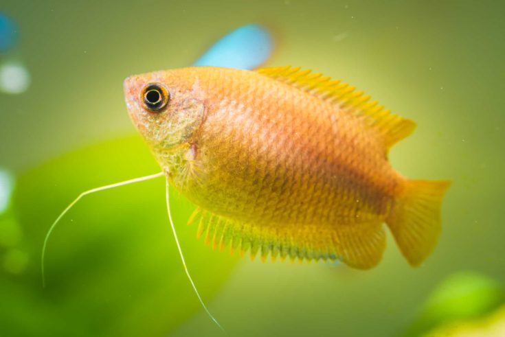 Honey gourami Trichogaster chuna tropical aquarium fish in fish tank. aquaria concept