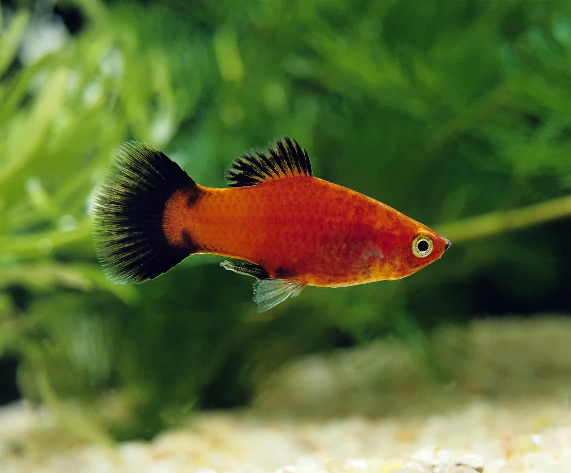 Wagtail Platy Fish, xiphophorus maculatus