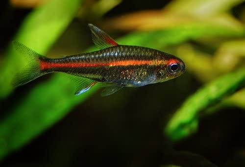 """WorldwideTropicals Live Freshwater Aquarium Fish - (6) 1"""" Fire Neon Tetras - 6 Pack of Fire Neons (Glo-Lites) Live Tropical Fish - Great for Aquariums - Populate Your Fish Tank!"""