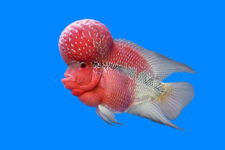 flowerhorn cichlid or cichlasoma fish in the aquarium