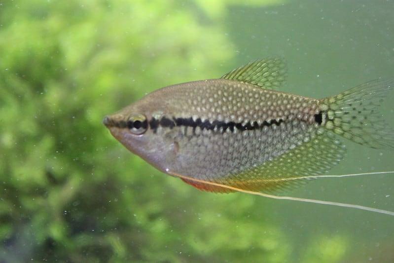 Trichogaster leeri (Gourami Perla/Pearl Gourami)