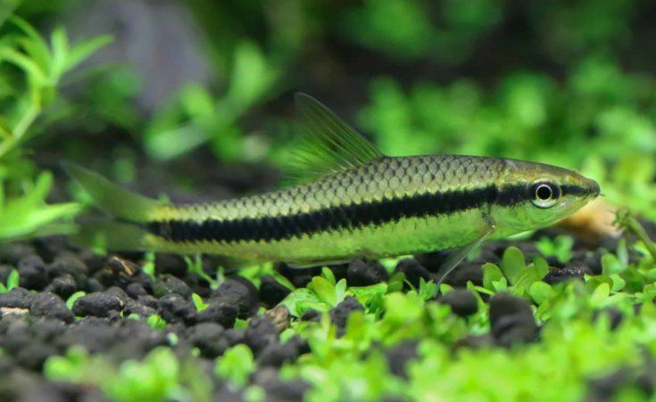 Siamese algae eater in planted aquarium