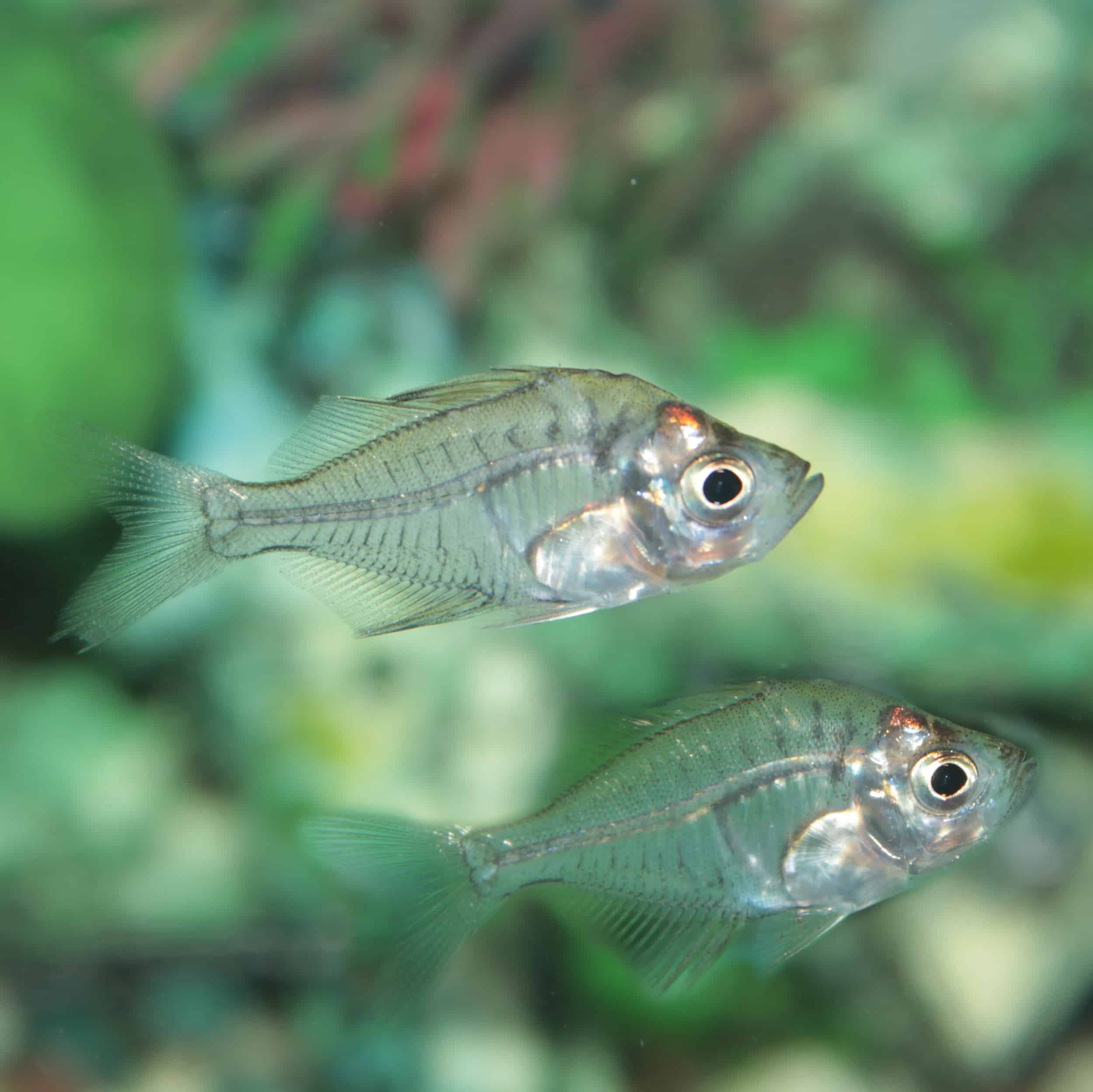 Indian Glass Perch (Chanda ranga) aquarium fish