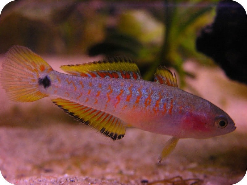 Female peacock goby