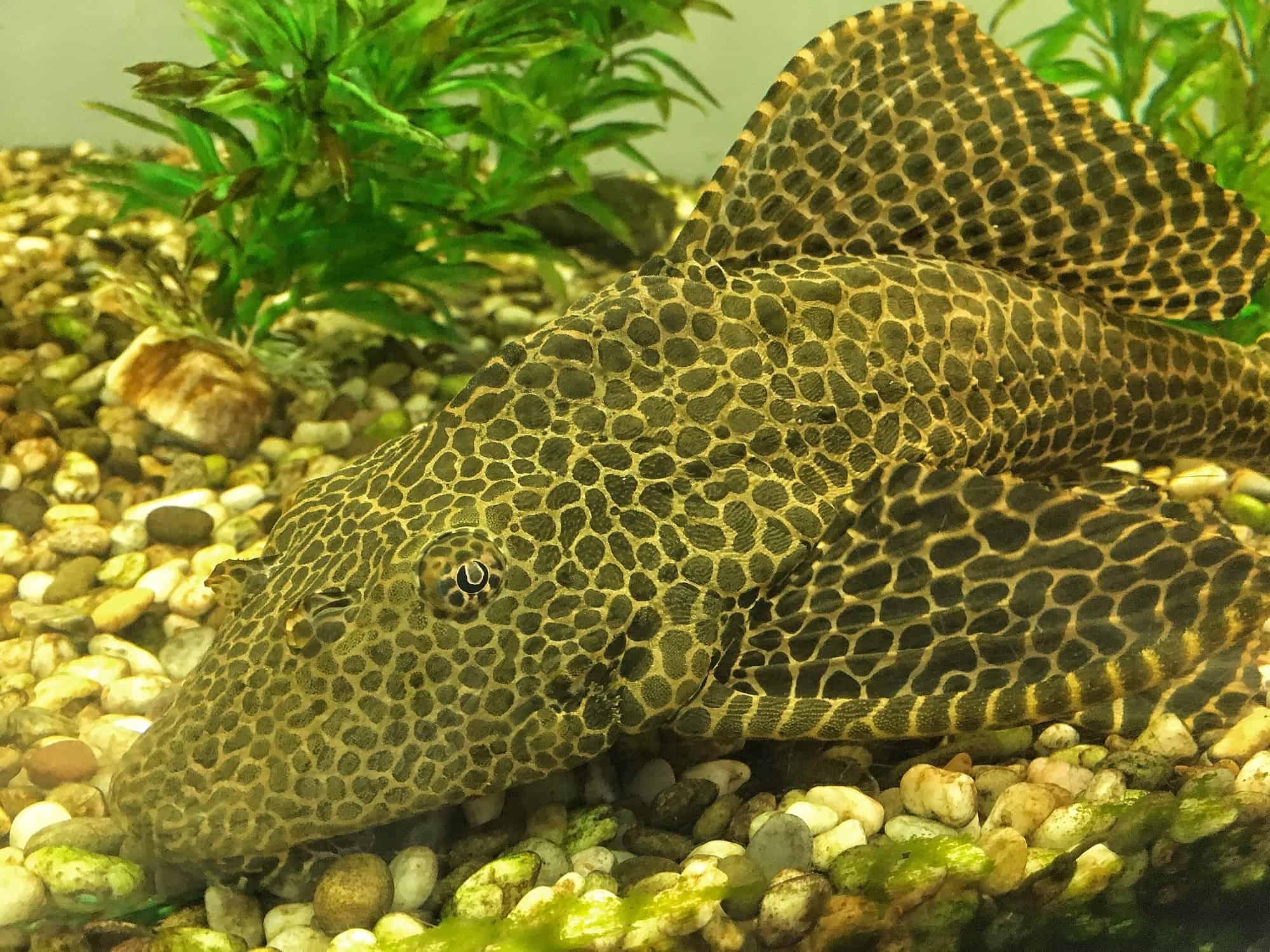 Antcistrus, spotted aquarium catfish close-up. Background for pet shop