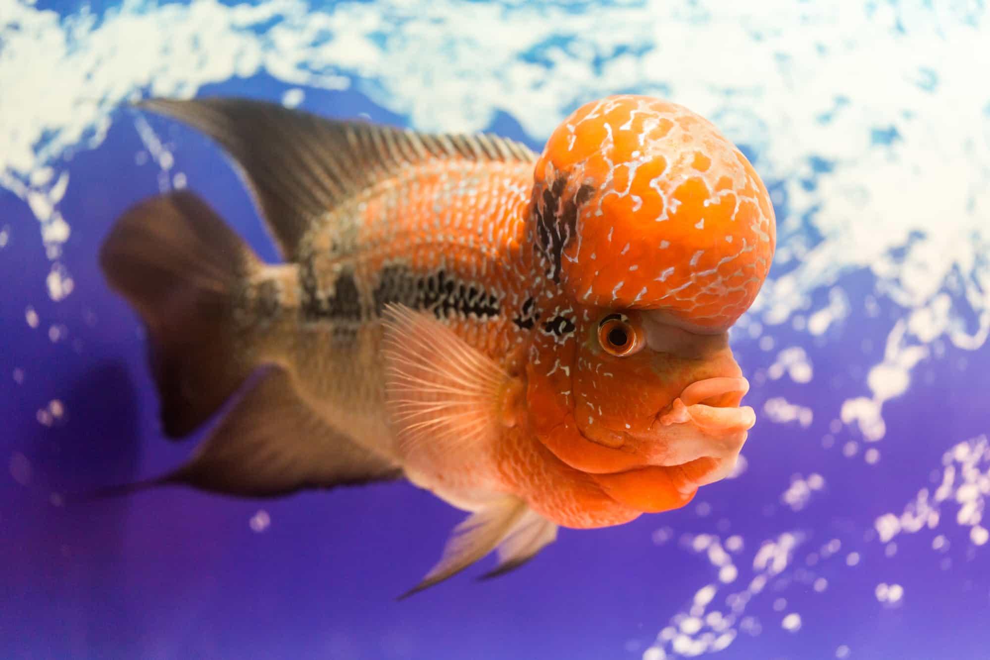 close up big aquarium fish the flower horn