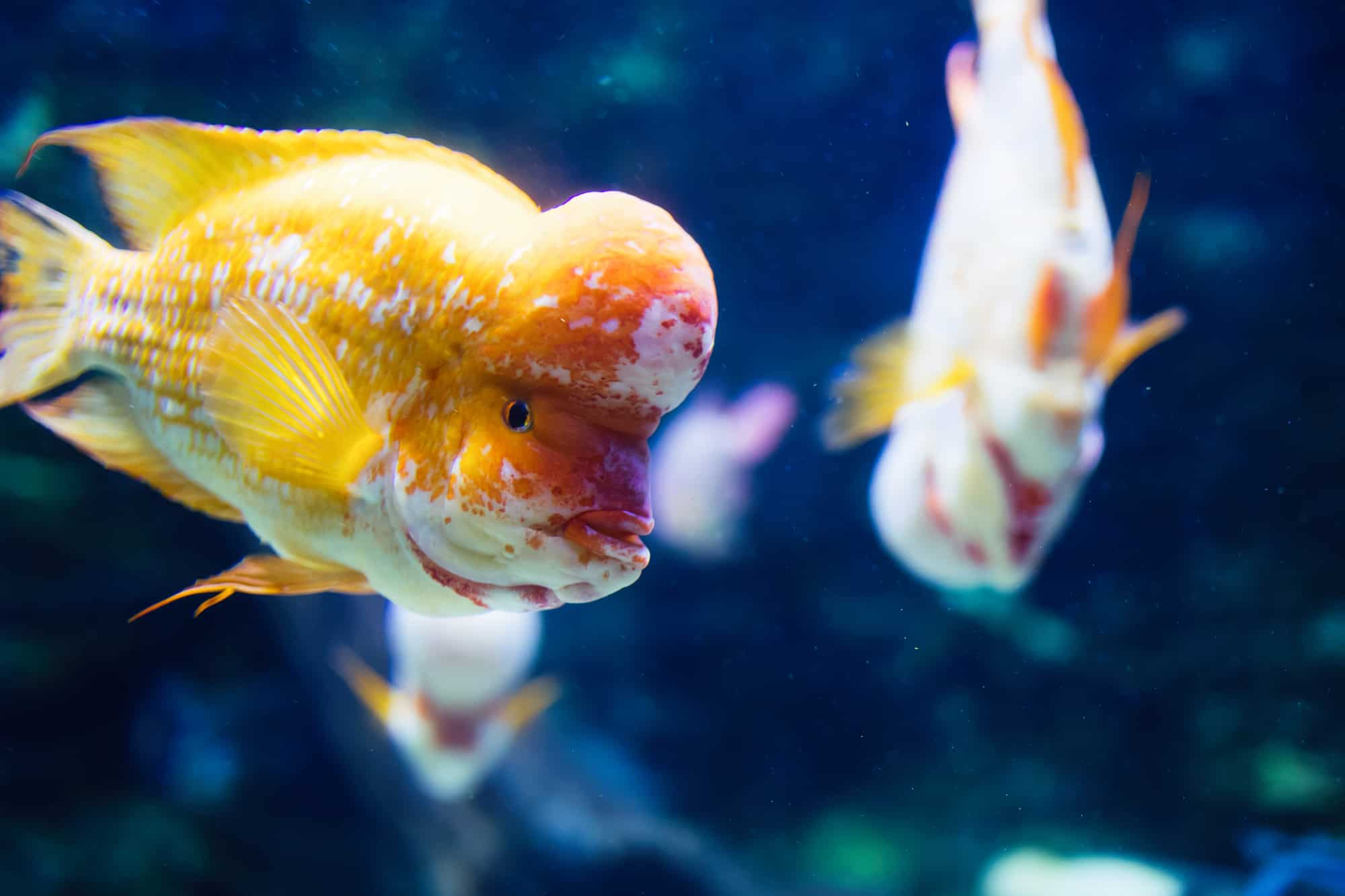 Portrait of beautiful flowerhead cichild fish swimming in aquarium