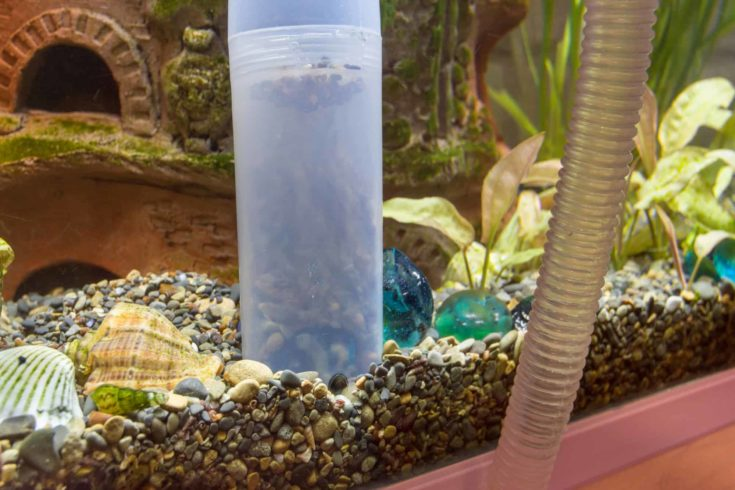 Cleaning the soil in the aquarium with a siphon