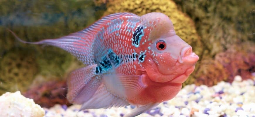 Flowerhorn swimming at the bottom with pebbles